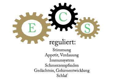 Endocannabinoid-System und was es reguliert